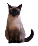 Gato siamés que se sienta Fotos de archivo libres de regalías