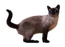 Gato siamés que se sienta Imagen de archivo