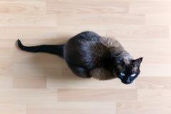 Gato siamés que se sienta en el piso laminado que mira para arriba imagen de archivo libre de regalías
