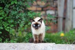 gato siamés sin hogar con los ojos azules que camina a lo largo de la calle imagen de archivo