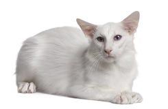 Gato Siamese, 2 anos velho, encontrando-se fotos de stock