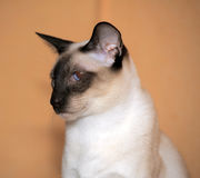Gato Siamese Fotos de Stock