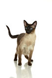 Gato Siamese Fotos de Stock Royalty Free