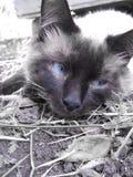 Gato Siamese Imagem de Stock Royalty Free