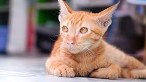 Gato Siamese Foto de Stock Royalty Free