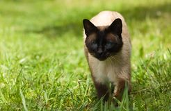 Gato Siamese. Imagens de Stock Royalty Free