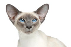 Gato siamese do Blue-point oriental. Retrato do Close-up Imagem de Stock Royalty Free