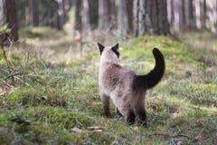 Gato siamese fêmea bonito que anda na floresta, no fundo obscuro Fotos de Stock Royalty Free
