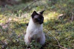 Gato Siamese fêmea de Brown no fundo arborizado Foto de Stock
