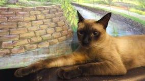 Gato Siamese feliz com os olhos marrons grandes Imagens de Stock