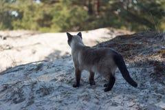 Gato siamese marrom bonito que anda no Sandy Beach Imagem de Stock Royalty Free