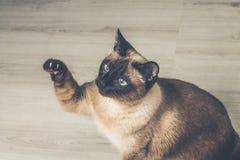 Gato Siamese na casa Imagens de Stock