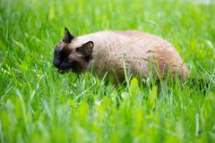 Gato Siamese na grama com olhos azuis Fotos de Stock Royalty Free