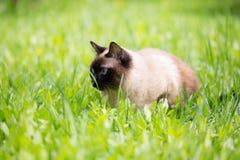 Gato Siamese na grama com olhos azuis Imagem de Stock