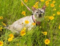 Gato Siamese pequeno do ponto do tortie na trela Foto de Stock Royalty Free