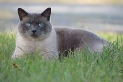 Gato Siamese que coloca na grama imagem de stock