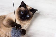 Gato Siamese que joga com um rato Fotografia de Stock