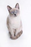 Gato Siamese que olha em seus olhos Fotos de Stock Royalty Free