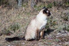Gato Siamese que senta-se na grama cinzenta Fotografia de Stock Royalty Free