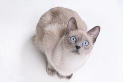 Gato Siamese tomado do acima Imagens de Stock