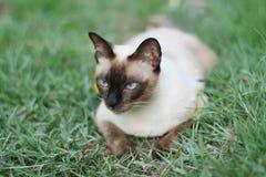 Gato, siamés en una hierba verde y hojas Foto de archivo
