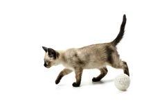 Gato sianese, isolado no branco Imagens de Stock Royalty Free