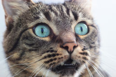 Gato Siberian Fotos de Stock Royalty Free