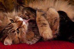Gato Siberian Foto de Stock