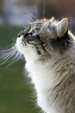 Gato Siberian Foto de Stock Royalty Free