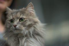 Gato Siberian Fotografia de Stock Royalty Free