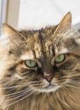 Gato siberian adorável dos rebanhos animais, gatinho marrom de cabelos compridos da cavala imagem de stock