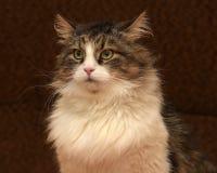 Gato siberian bonito fotografia de stock
