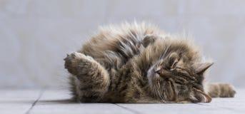 Gato siberian da cavala marrom peludo do gato malhado do tortie que encontra-se no assoalho do jardim Fotografia de Stock Royalty Free
