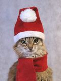 Gato Siberian do Natal Imagem de Stock Royalty Free