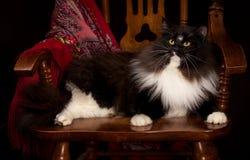 Gato Siberian do puro-sangue preto que encontra-se em uma cadeira Fotos de Stock Royalty Free