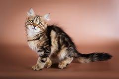 Gato Siberian do puro-sangue que senta-se no fundo marrom Fotografia de Stock