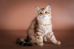 Gato Siberian do puro-sangue que senta-se no fundo marrom Imagem de Stock