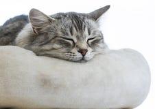 Gato siberian fêmea de prata cinzento doce em um descanso foto de stock royalty free