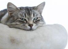 Gato siberian fêmea de prata cinzento doce em um descanso, gato longhair fotos de stock royalty free