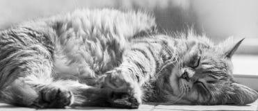 Gato siberian fêmea de prata cinzento doce que encontra-se sobre pavimenta no tempo de sono fotos de stock royalty free