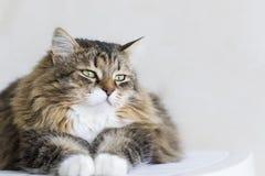 Gato siberian fêmea do gato malhado marrom adorável que encontra-se na casa foto de stock