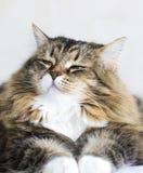 Gato siberian fêmea do gato malhado marrom adorável que encontra-se na casa imagem de stock