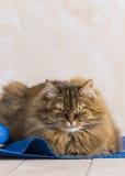 Gato siberian fêmea do gato malhado marrom doce que encontra-se em um tapete azul imagem de stock royalty free