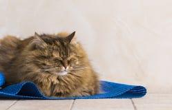 Gato siberian fêmea do gato malhado marrom doce que encontra-se em um tapete azul fotografia de stock royalty free