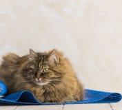 Gato siberian fêmea do gato malhado marrom doce que encontra-se em um tapete azul imagens de stock royalty free