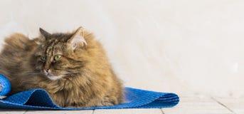 Gato siberian fêmea do gato malhado marrom doce que encontra-se em um tapete azul imagens de stock