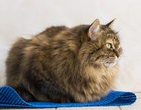 Gato siberian fêmea do gato malhado marrom macio que encontra-se em um tapete azul imagem de stock royalty free