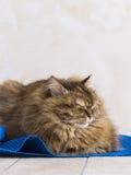 Gato siberian fêmea do gato malhado marrom macio que encontra-se em um tapete azul fotos de stock
