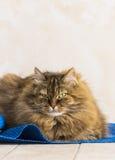 Gato siberian fêmea que encontra-se na casa, animal de estimação hypoallergenic do gato malhado marrom macio imagem de stock royalty free