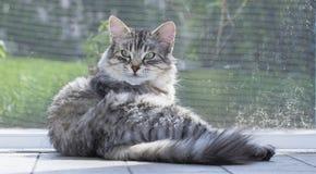 Gato siberian macio, gato malhado de prata fêmea que senta-se perto da janela fotografia de stock royalty free